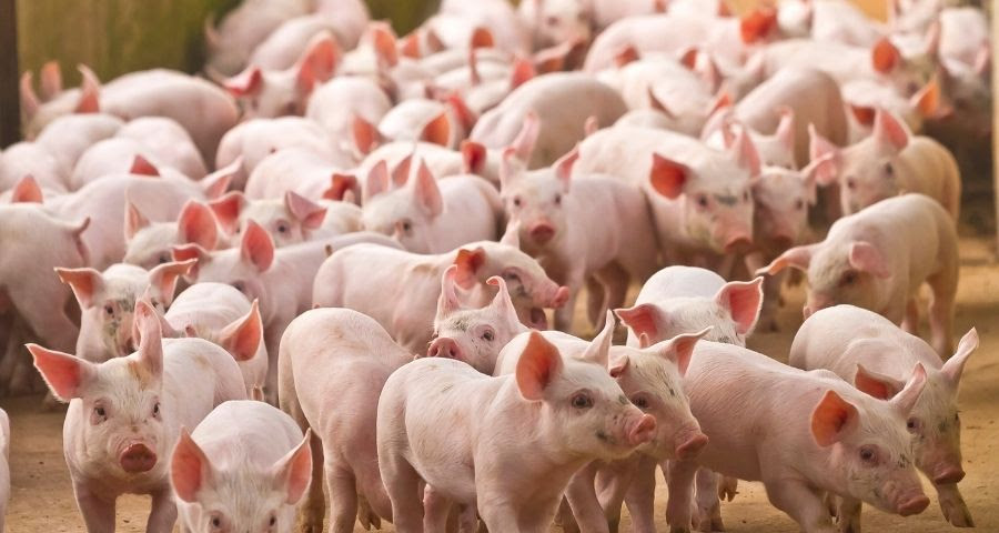 ASF and FMD threat to Australian pigs