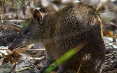 Bandicoots conservation status improved
